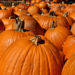 East Bay pumpkin patches